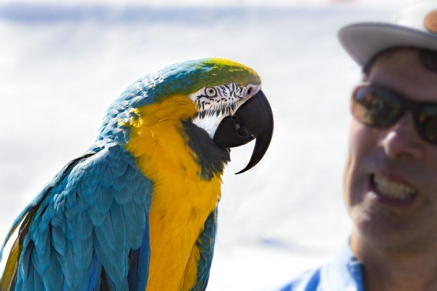 Full of personality, blue and gold macaws are highly photogenic, and are commonly used in commercial advertising. Steely loves to dance and has the voice of a rock star, capable of reaching 105 decibels. Photo by Jeremy Jensen/Moonshine Ink